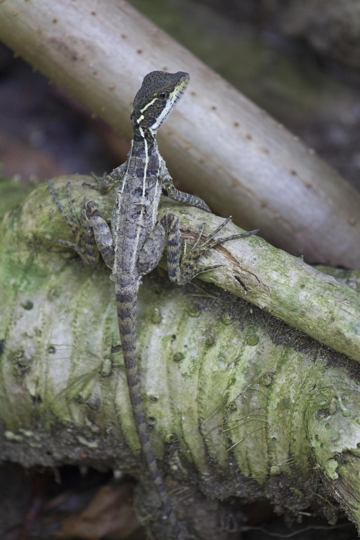 Lézard du Costa Rica