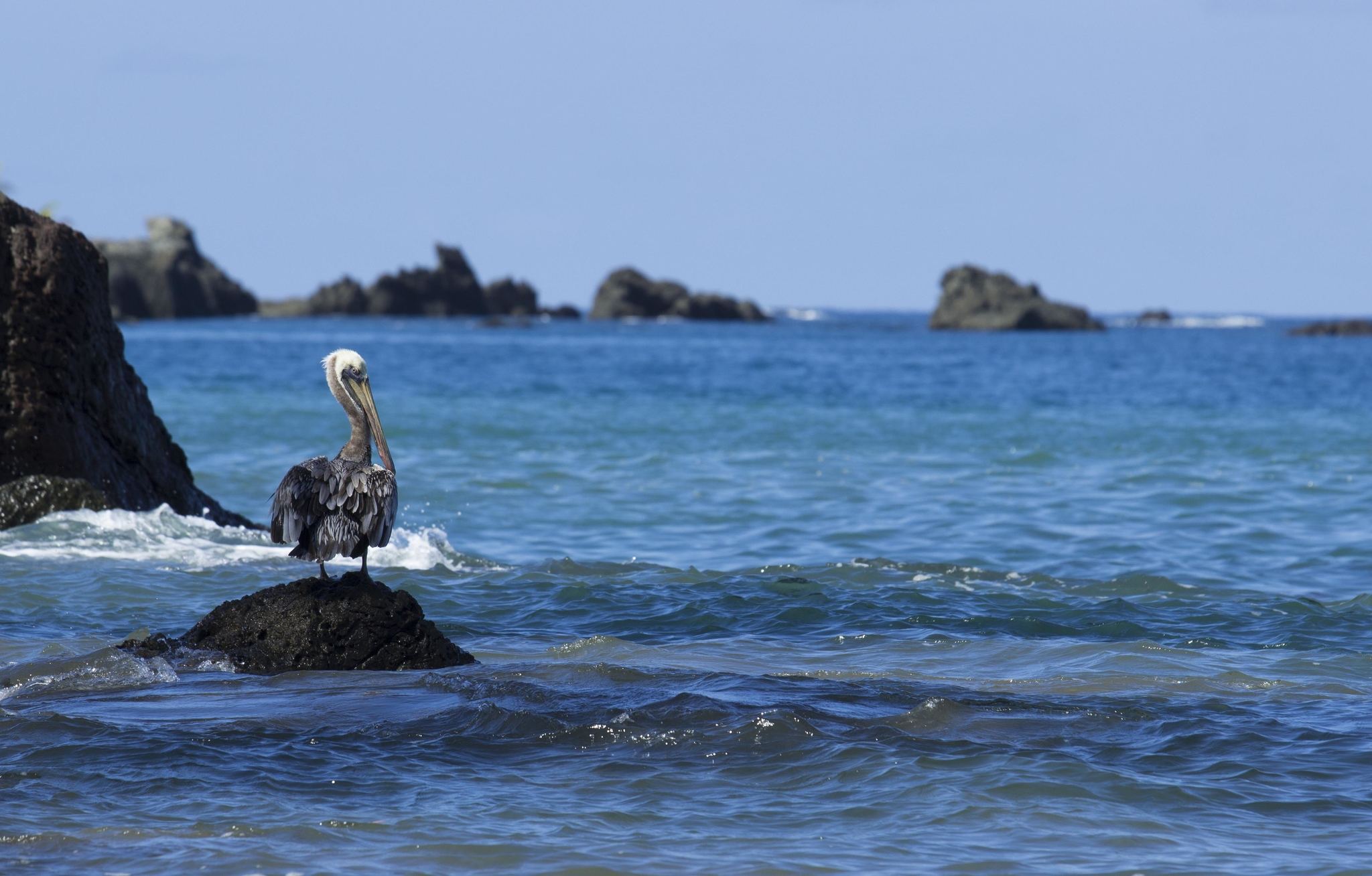 Pélican de Drake Bay