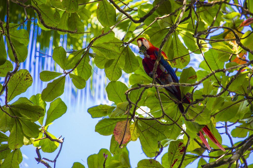 Ara rouge, un des animaux du Costa Rica