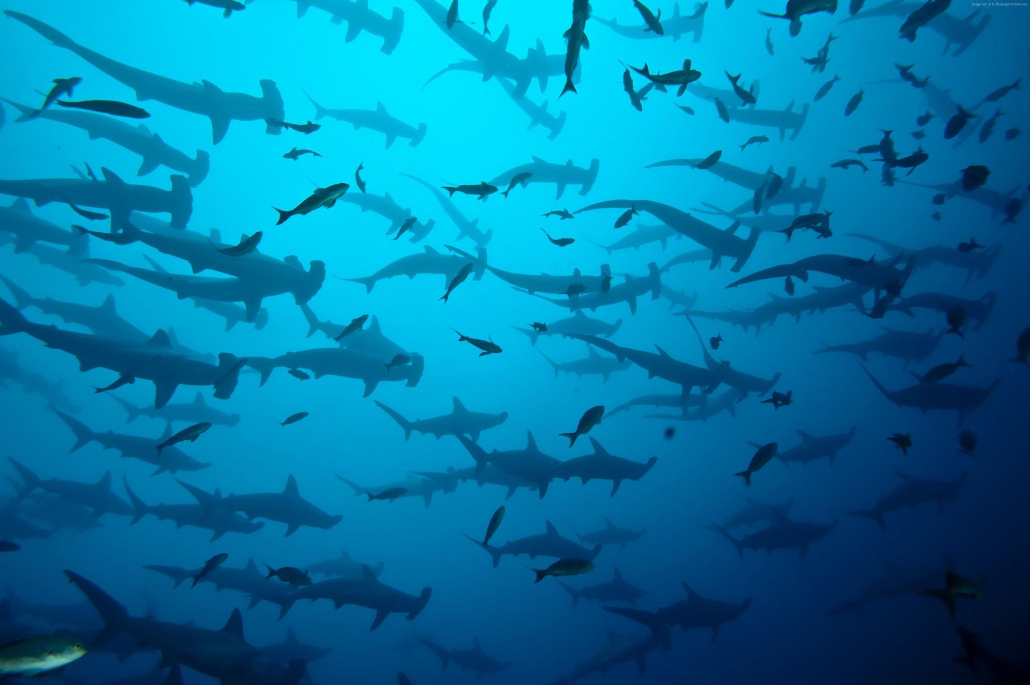 Bancs de requins marteaux en plongée à la Isla del Coco au Costa Rica